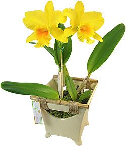 Orquídea - NÍTIDO SEGREDO - Especialíssima orquídea Cattleya amarela plantada com base de cerâmica em detalhes artesanais.