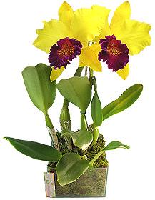 Orquídea - ÍNTIMO TORPOR - Maravilhosa orquídea Cattleya amarela e lilás plantada em base vidro adornada por musgo