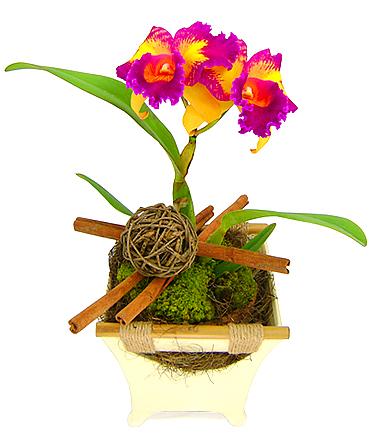 Esta exótica e extraordinária orquídea catleya plantada bicolor, com certeza, vai surpreender e encantar.  Presente infalível. (bic Taiwan Queen - HCC/AOV 76)