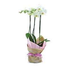 Orquídea Multiflores Branca
