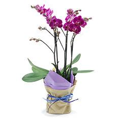 Orquídea Multiflores Milão