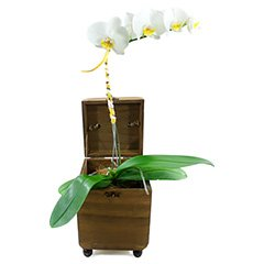 Uma belíssima orquídea phalaenopsis em um baú de madeira