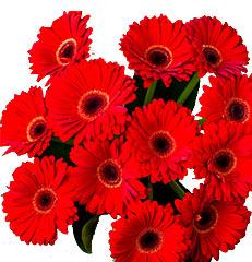 Dez hastes de gérberas para você montar seu próprio arranjo ou bouquet ou decorar sua casa ou seu ambiente de trabalho. OBS - Flores não embaladas para presente.