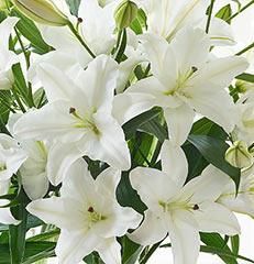 Cinco hastes de lírios para você montar seu próprio arranjo ou bouquet ou decorar sua casa ou seu ambiente de trabalho. OBS - Flores não embaladas para presente.