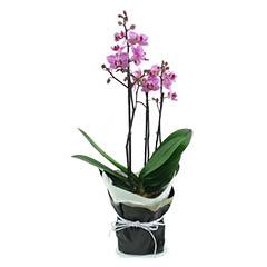 Orquídea Multiflores Lilás