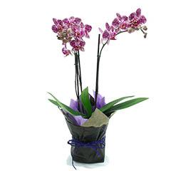 Orquídea Multiflores Mikonos