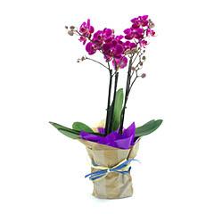Orquídea Multiflores Roxa